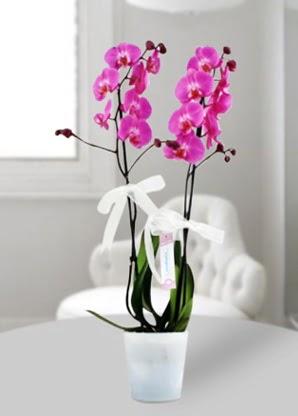 Çift dallı mor orkide  Denizli çiçek yolla , çiçek gönder , çiçekçi