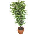 Ficus özel Starlight 1,75 cm   Denizli çiçek gönderme