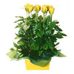 11 adet sari gül aranjmani  Denizli online çiçek gönderme sipariş