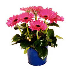 vazo içerisinde gerbera çiçekleri   Denizli çiçek yolla