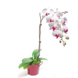 Denizli anneler günü çiçek yolla  Saksida orkide