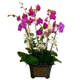 Denizli çiçek gönderme  4 adet orkide çiçegi