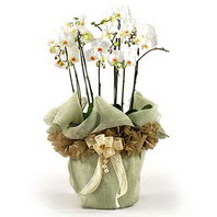 Denizli yurtiçi ve yurtdışı çiçek siparişi  3 dal orkide , saksi çiçegi , 3 kök orkide
