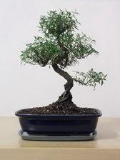 ithal bonsai saksi çiçegi  Denizli çiçek gönderme sitemiz güvenlidir