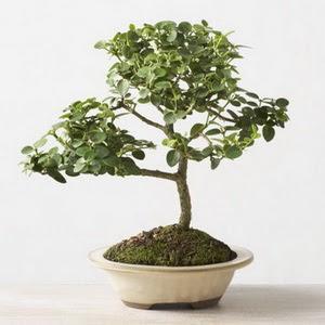 ithal bonsai saksi çiçegi  Denizli çiçekçi mağazası