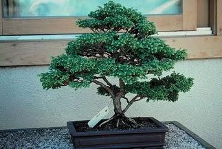 ithal bonsai saksi çiçegi  Denizli çiçek , çiçekçi , çiçekçilik