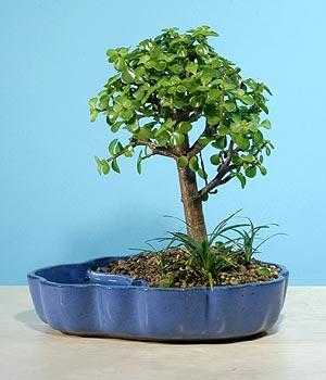 ithal bonsai saksi çiçegi  Denizli çiçek yolla , çiçek gönder , çiçekçi
