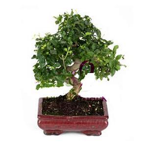 ithal bonsai saksi çiçegi  Denizli ucuz çiçek gönder
