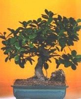 Denizli hediye sevgilime hediye çiçek  ithal bonsai saksi çiçegi  Denizli İnternetten çiçek siparişi