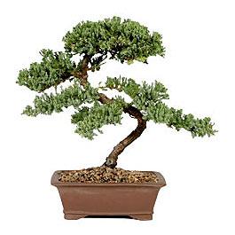 ithal bonsai saksi çiçegi  Denizli uluslararası çiçek gönderme