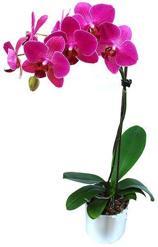 Denizli güvenli kaliteli hızlı çiçek  saksi orkide çiçegi