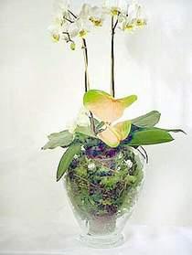 Denizli çiçek online çiçek siparişi  Cam yada mika vazoda özel orkideler
