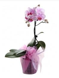 1 dal pembe orkide saksı çiçeği  Denizli çiçekçiler