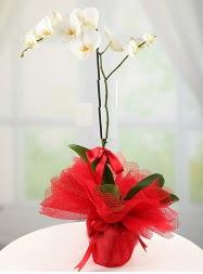 1 dal beyaz orkide saksı çiçeği  Denizli çiçek siparişi vermek