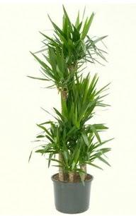 7 li yucca saksı bitkisi  Denizli çiçek siparişi sitesi
