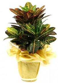 Orta boy kraton saksı çiçeği  Denizli çiçek , çiçekçi , çiçekçilik