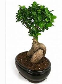 Bonsai saksı bitkisi japon ağacı  Denizli yurtiçi ve yurtdışı çiçek siparişi