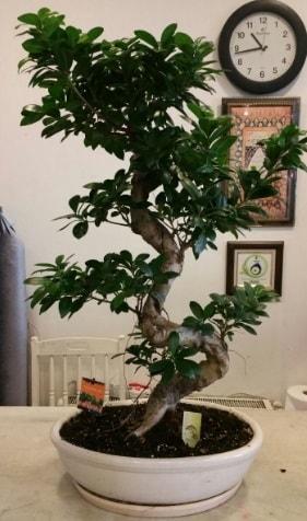 100 cm yüksekliğinde dev bonsai japon ağacı  Denizli cicekciler , cicek siparisi
