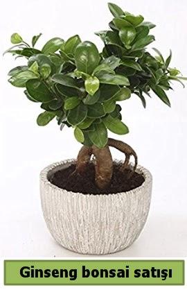 Ginseng bonsai japon ağacı satışı  Denizli hediye sevgilime hediye çiçek