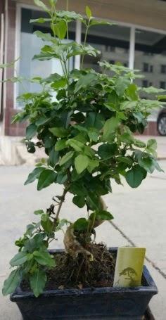 Bonsai japon ağacı saksı bitkisi  Denizli çiçek gönderme sitemiz güvenlidir