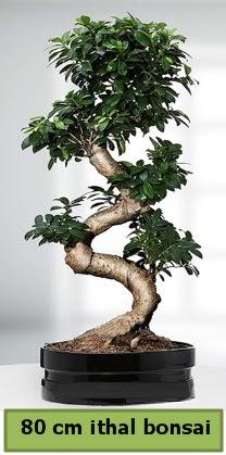 80 cm özel saksıda bonsai bitkisi  Denizli hediye sevgilime hediye çiçek