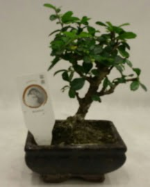 Küçük minyatür bonsai japon ağacı  Denizli anneler günü çiçek yolla