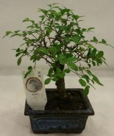 Minyatür ithal japon ağacı bonsai bitkisi  Denizli çiçek online çiçek siparişi