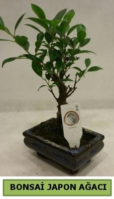 Bonsai japon ağacı saksı bitkisi  Denizli çiçek siparişi sitesi