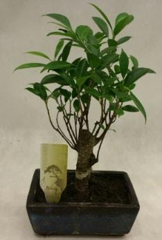 Japon ağacı bonsai bitkisi satışı  Denizli hediye sevgilime hediye çiçek