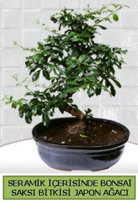 Seramik vazoda bonsai japon ağacı bitkisi  Denizli yurtiçi ve yurtdışı çiçek siparişi