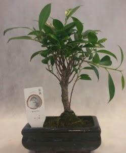 Bonsai japon ağacı bitkisi satışı  Denizli uluslararası çiçek gönderme