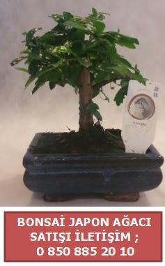 Japon ağacı minyaür bonsai satışı  Denizli çiçek online çiçek siparişi