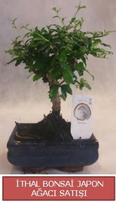 İthal küçük boy minyatür bonsai ağaç bitkisi  Denizli hediye sevgilime hediye çiçek