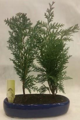 SINIRLI SAYIDA Selvi Ağacı bonsai ikili  Denizli hediye sevgilime hediye çiçek