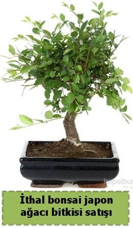 İthal bonsai saksı çiçeği Japon ağacı satışı  Denizli cicekciler , cicek siparisi
