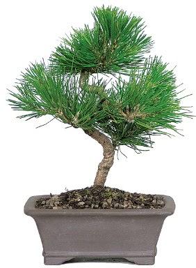 Çam ağacı bonsai japon ağacı bitkisi  Denizli anneler günü çiçek yolla