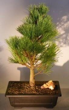 Çam ağacı japon ağacı bitkisi bonsai  Denizli hediye sevgilime hediye çiçek