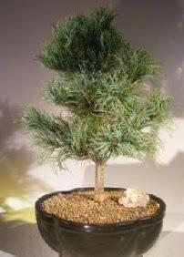 Çam ağacı bonsai bitkisi satışı  Denizli çiçek mağazası , çiçekçi adresleri