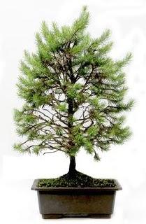 *** STOKTA YOK - Çam ağacı bonsai bitkisi satışı  Denizli çiçekçi telefonları