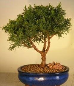 Servi çam bonsai japon ağacı bitkisi  Denizli 14 şubat sevgililer günü çiçek
