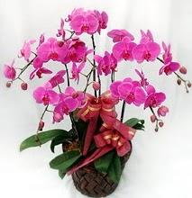 Sepet içerisinde 5 dallı lila orkide  Denizli çiçek mağazası , çiçekçi adresleri