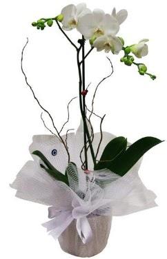 Tek dallı beyaz orkide  Denizli çiçek gönderme