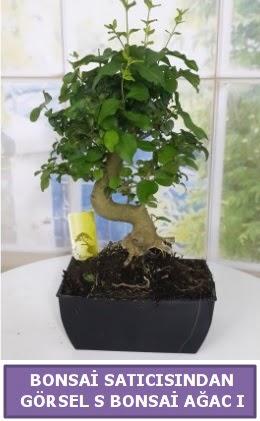 S dal eğriliği bonsai japon ağacı  Denizli çiçek online çiçek siparişi