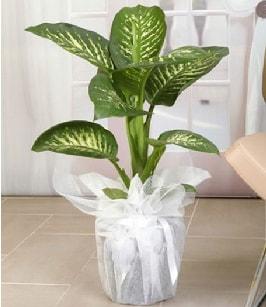 Tropik saksı çiçeği bitkisi  Denizli çiçek online çiçek siparişi
