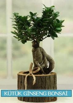 Kütük ağaç içerisinde ginseng bonsai  Denizli uluslararası çiçek gönderme