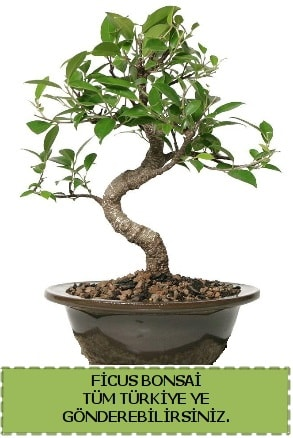 Ficus bonsai  Denizli uluslararası çiçek gönderme