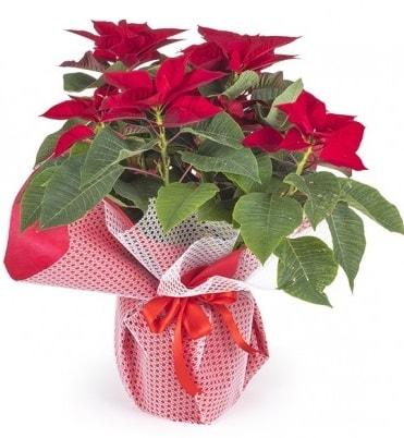 Atatürk çiçeği saksı bitkisi  Denizli uluslararası çiçek gönderme