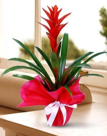 Guzmanya Saksı Çiçeği  Denizli 14 şubat sevgililer günü çiçek