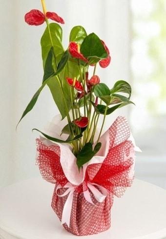 Anthurium Saksı Çiçeği  Denizli kaliteli taze ve ucuz çiçekler