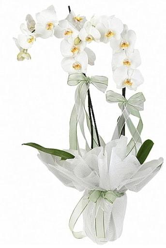 Çift Dallı Beyaz Orkide  Denizli ucuz çiçek gönder